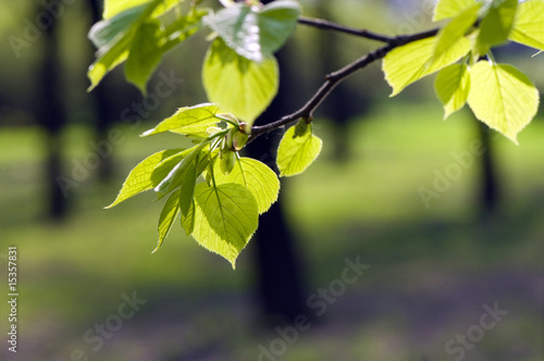Fresh Spring Leaves