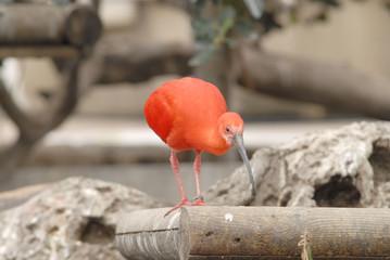piumaggio rosso