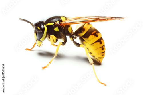 Foto op Plexiglas Bee Close-up of a live Yellow Jacket Wasp