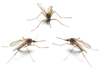 Three Anopheles mosquitos - dangerous vehicle of infection