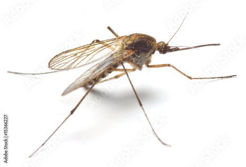 Anopheles mosquito - dangerous vehicle of infection - isolated - 15366227