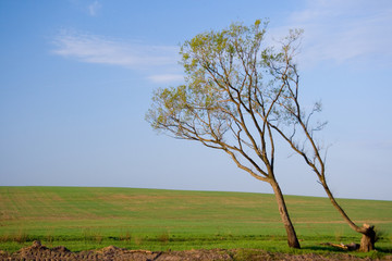 Background. Lonely tree in the field and blue sky