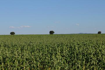 Futuro campo de biodiesel