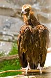 eurasian black vulture (aegypius monachus) poster