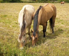 Two chestnut horses in a field