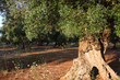 tronco ulivo