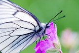 black-veined thorn butterfly on meadow geranium