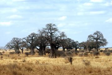 Baobabs,Tanzania