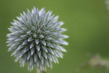kwiat kula