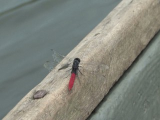 Dragonfly in the Amazon