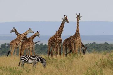 The giraffe (Giraffa camelopardalis) at Masai Mara, Kenya