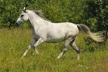 white horse running wild on the farm outdoors