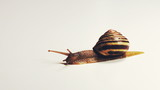 Snail Slithers Slowly across a White Background