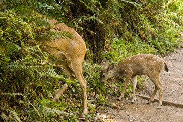 Blacktail Deer Fawn on a Muir Woods Trail