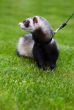 Pet - ferret in the park poster