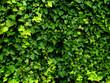 ivy - 15455471