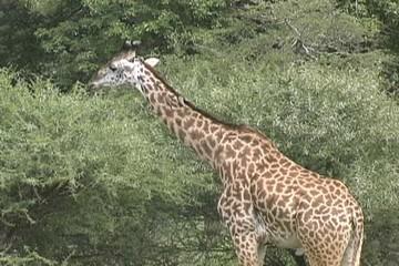 A giraffe eating in Tarangire Park Tanzania Africa