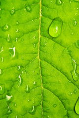 Green leaf texture with water drops on it....