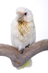 Cockatoo, Bare Eyed, baby, isolated on white