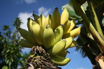 Regime de banane, Chapada Diamantina, Bahia