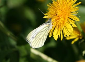 Piéride du navet (Péris napi) sur une fleur de Pissenlit