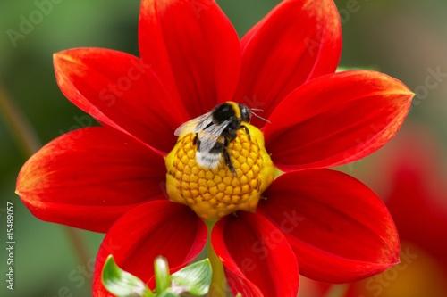 Blume mit Hummel - 15489057