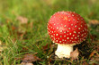 Toadstool in the grass with leafs