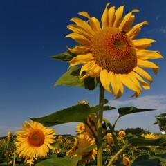Sonnenblumen quadratisch