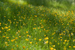 Grass and yellow flowers