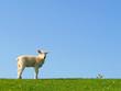 Lamm und Schafstelze