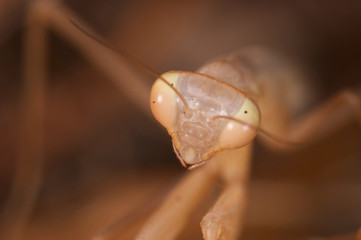 Praying mantis ( Mantis religiosa )