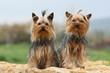deux yorshire terrier assis ensemble sur une dalle de pierre