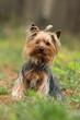 yorkshire terrier assis de face dans l'herbe - malin espiègle