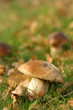 Brown mushroom in the grass with leafs