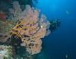 Taucher schwimmt hinter einer Gorgonie, Indonesien