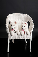 Husky Puppies In The White Armchair