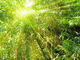 bamboo with rays of light