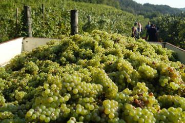 Carro con uva durante la vendemmia