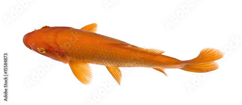 top view of a red fish : Orange Koi - Cyprinus carpio