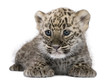 Quadro Persian leopard Cub (6 weeks)