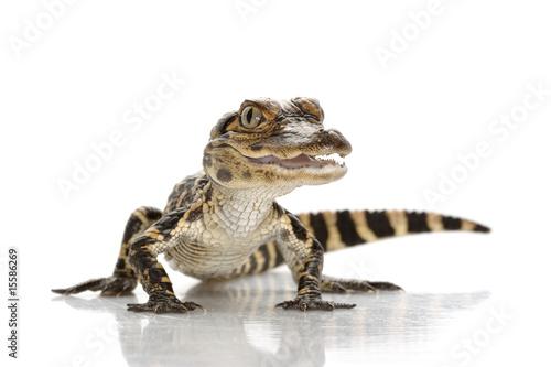 Fotobehang Krokodil American alligator