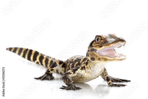 In de dag Krokodil American alligator