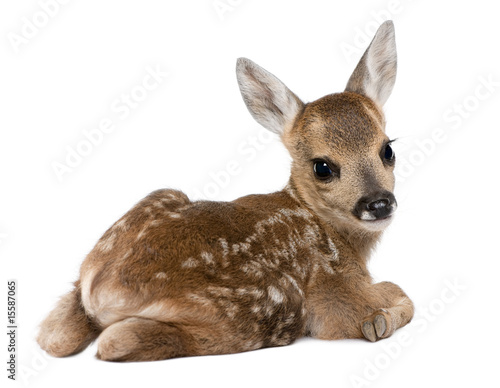 Canvas Ree roe deer Fawn - Capreolus capreolus (15 days old)
