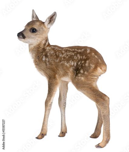 Aluminium Ree roe deer Fawn - Capreolus capreolus (15 days old)