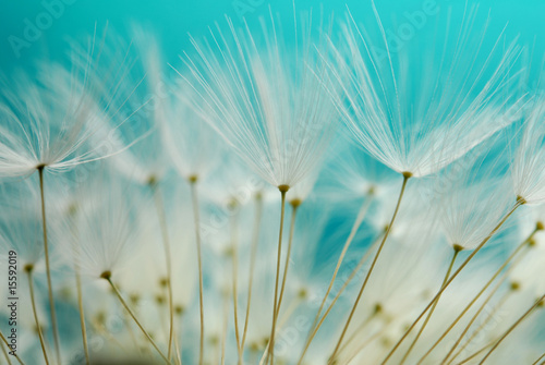 Fotobehang Paardebloem dandy seeds against blue background