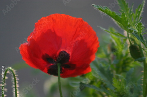Red Poppy - 15593298