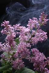 Smoke and lilac on a black background