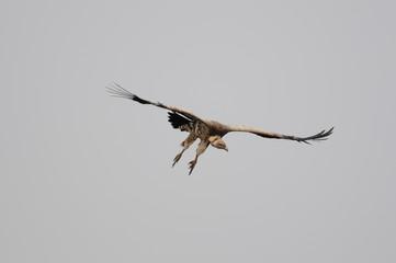 Rüppell's Vulture, Gyps rueppellii, Masai Mara, Kenya
