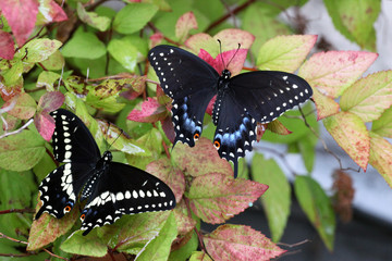 Male and female black swallowtail butterflies