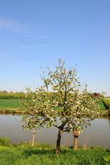 Blossomtree in landscape